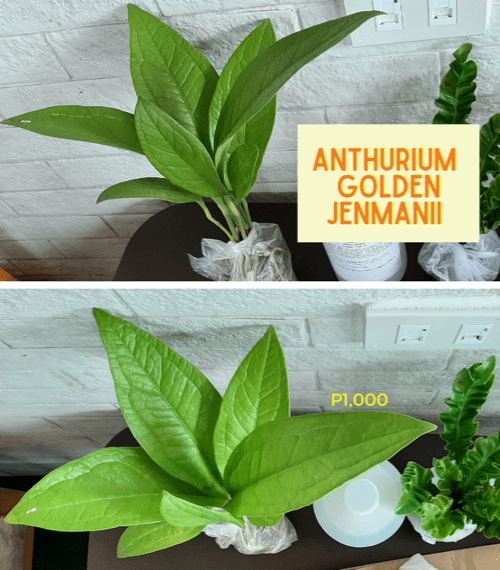 anthurium golden jenmanii