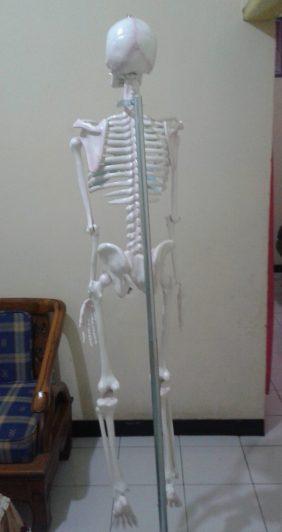 model rangka manusia, model kerangka manusia, alat peraga kerangka manusia, alat peraga rangka manusia, alat peraga anatomi