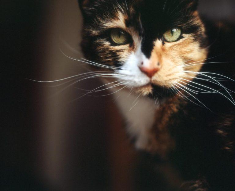 Nama Kucing Jantan Calico