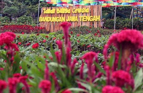 Taman Bunga Celosia Spot Wisata Baru Yang Menawan Di Gedong