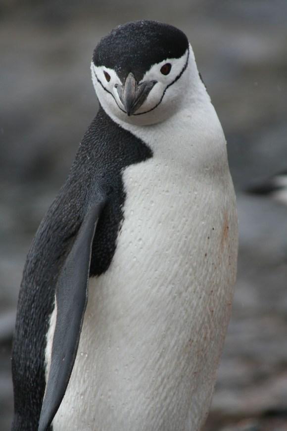 ヒゲペンギンの大人の写真