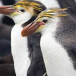 ロイヤルペンギンの大人の写真