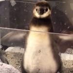 すみだ水族館のマゼランペンギンの赤ちゃん(たいこ)