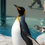 東武動物公園のキングペンギン
