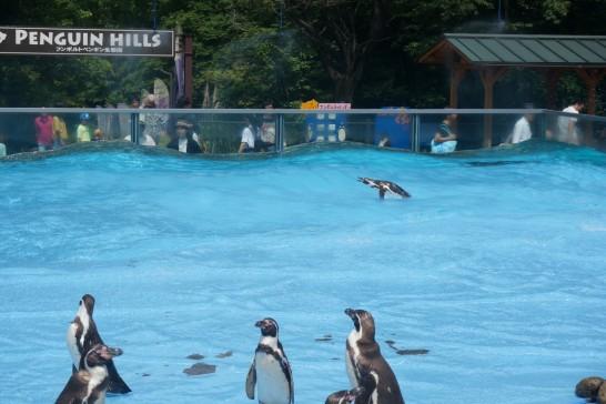 イルカ跳びを披露するフンボルトペンギン