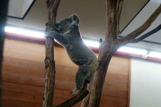 木の上を自在に動き回るこどものコアラ