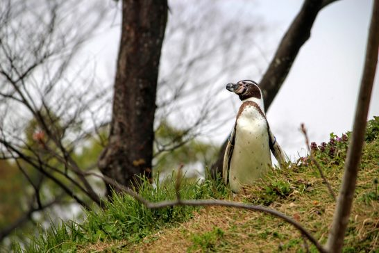 ペンギンヒルズの丘の上から降りてくるペンギン