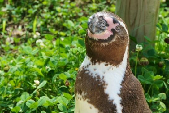 ペンギンと目があった貴重な瞬間
