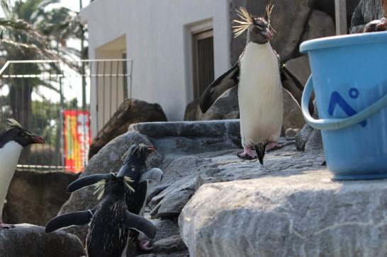 お魚の入ったバケツに大急ぎで駆け寄るイワトビペンギン