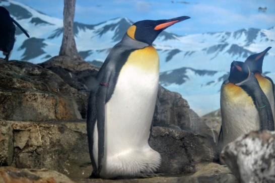 座っているかのように見えるキングペンギン
