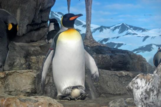 足の上で卵を抱くキングペンギン