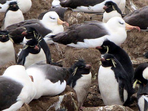 フォークランド諸島のイワトビペンギン