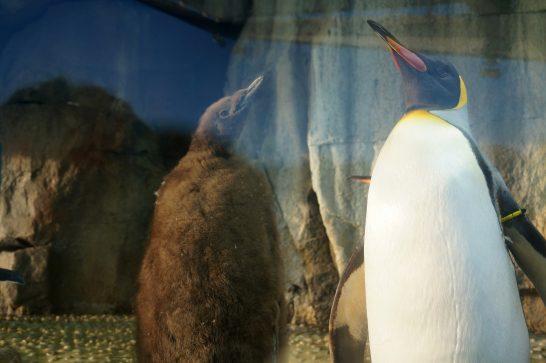 キングペンギンの親子/うみの杜水族館