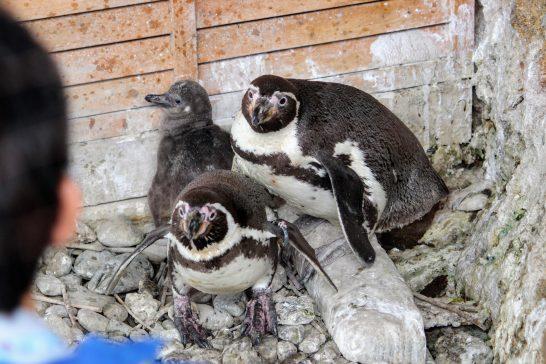 警戒するフンボルトペンギン