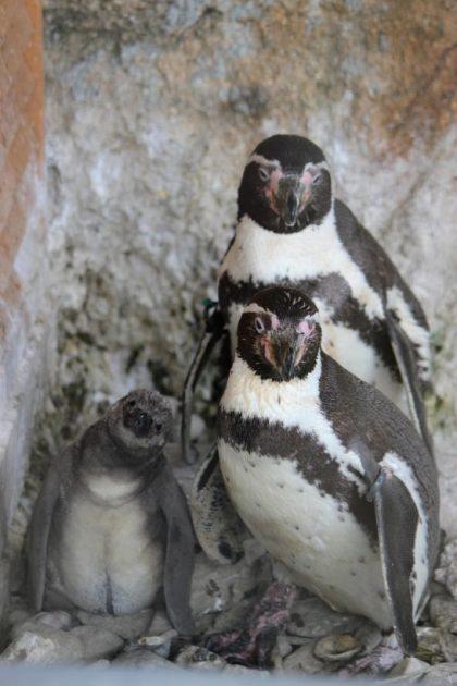 仲睦まじいフンボルトペンギンの家族