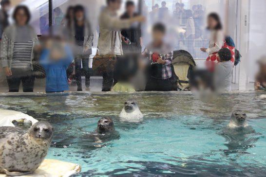 水面から頭を出すワモンアザラシ