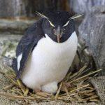 海遊館で抱卵中のイワトビペンギン