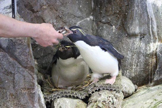 飼育員さんからお魚をもらうイワトビペンギンのつがい