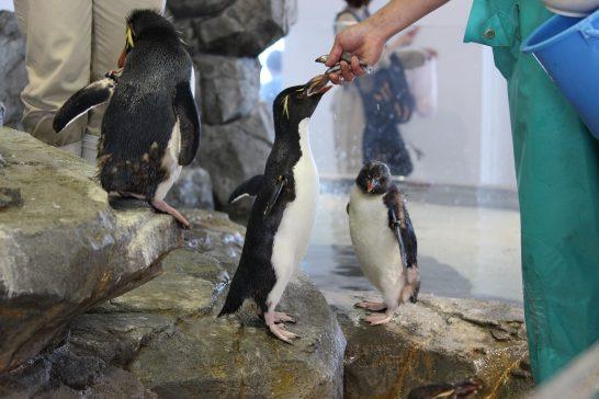 餌をもらうために首を長く伸ばすイワトビペンギン