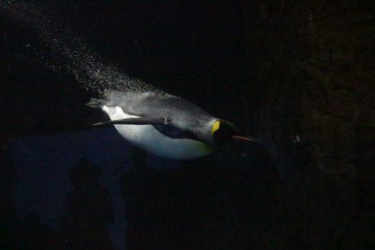 水中を泳ぐキングペンギン