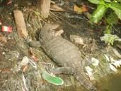 Lizard having eaten.