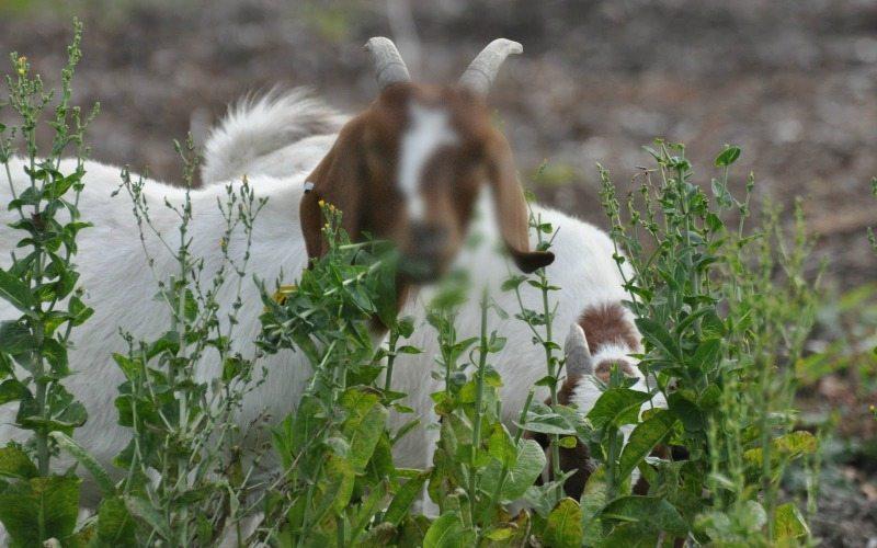 gambar kambing lucu