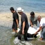 El delfín fue devuelto al mar después de ser colocado en una camilla y luego remolcado con una embarcación con motor fuera de borda hacia aguas profundas.