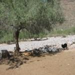Ante la recurrente sequía rancheros malbaratan su ganado (Enrique Montaño).