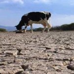 154 mil 639 cabezas de ganado se encuentran en peligro de muerte debido a la sequía que aqueja al estado, lo cual demuestra que este año la realidad del sector ganadero no fue muy alentadora, además de que el 2011 se ve turbio para el sector.