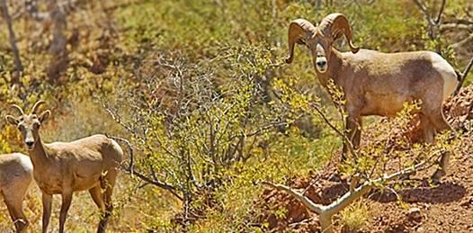 Evalúan programa de aprovechamiento del borrego cimarrón para actividades de caza