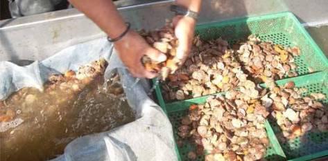 La iniciativa MarMex pretende trabajar de la mano con técnicos formados en el propio CIBNOR en el desarrollo de tecnologías para la producción de semilla de moluscos bivalvos para la maricultura.