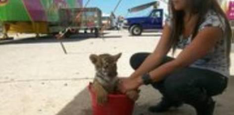 El tigre de un circo instalado en la ciudad de La Paz fue reportado el pasado fin de semana como robado por quienes se dicen sus propietarios.