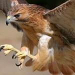 Junto con el halcón peregrino al menos 19 especies de aves rapaces anidan en estado, informó el estudiante Emer García en las serranías y desiertos sudcalifornianos se pueden avistar el águila real (Falco peregrinus), halcón cola roja (Buteo jamaicensis), cernícalo (Falco tinnunculus), así como los gavilanes (Accipiter) barrado, Cooper , azor, así como los cara-cara (Polyborus plancus) entre otros.