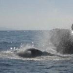 """El aprovechamiento no extractivo de ballenas con estricto apego a la normatividad ambiental ofrece al turismo """"un espectáculo único y, a su vez, permite a las comunidades mejorar su nivel de vida y conservar sus recursos naturales"""" celebró Elvira Quesada en un mensaje a la comunidad sudcaliforniana."""