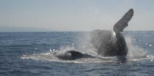 Esperan que más de 20 mil ejemplares de Ballena gris visiten las aguas de BCS