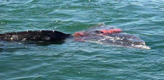 Que si hay pesca en la zona de avistamiento de ballenas, denuncian