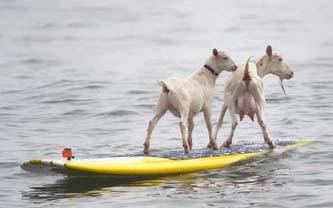 Las cabras se pararon en las tablas de surfing y corrieron las olas el miércoles en la playa estatal de San Onofre, mientras los curiosos las admiraban asombrados.