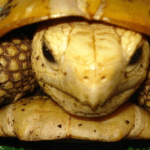 tortuga amarilla