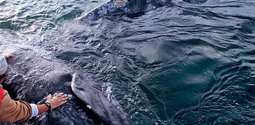 Empieza a crecer la población de ballena gris en costas sudcalifornianas