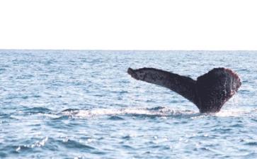 Capacitan a turisteros por temporada de ballenas