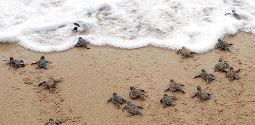 Advierten al Presidente sobre la mortandad de tortugas en BCS