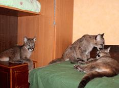 Pumas en casa
