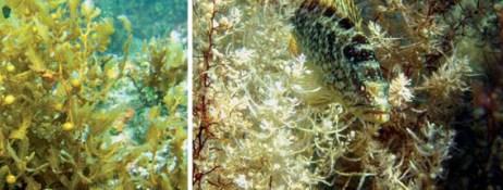 El pez cabrilla extranjera, Paralabrax maculatofasciatus, bien camuflado, apenas se distingue en medio del Sargassum. (foto: © Alvin Suárez/Pangas/Cicimar-ipn)