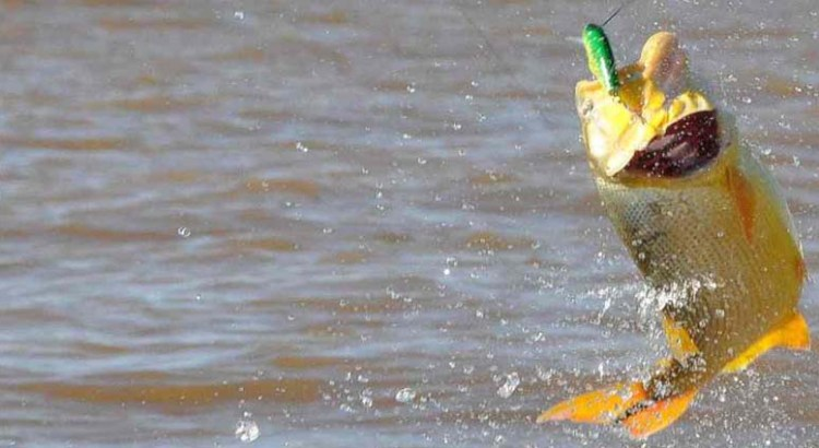 No a la liberación del dorado para pesca comercial