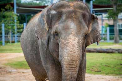 Ponen a dieta a elefanta