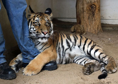 Trasladan a Sinaloa hembra de tigre de bengala