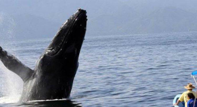 Aumentó el número de ballenas azules