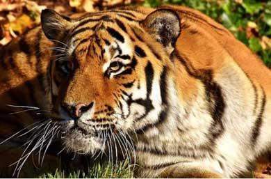 Mandaron un tigre por paquetería