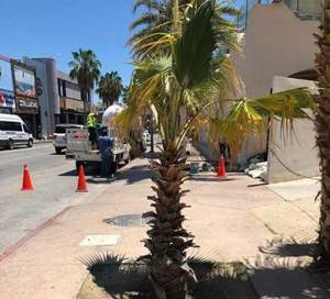 Nuevas Palmeras fueron instaladas en el Boulevard Marina s