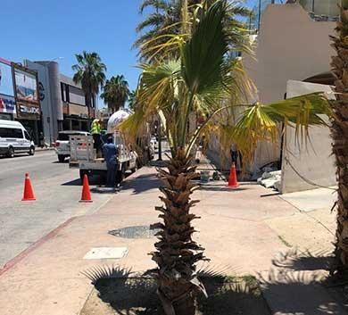 Coloca Fonatur palmeras en Boulevard Marina